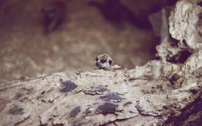 Wallpaper meerkat, look, animal