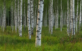 Picture trees, Sweden, birch, grove, Sweden, Dalarna