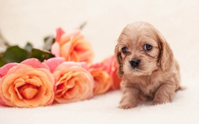 Picture puppy, dog, flowers, baby, roses