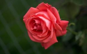 Wallpaper macro, rose, Bud, scarlet rose