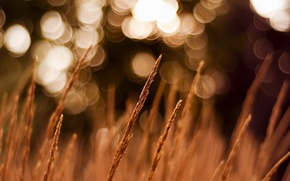Picture field, the evening, spikelets