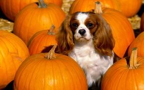 Picture color, dog, pumpkin, ears