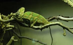 Wallpaper tree, branch, chameleon