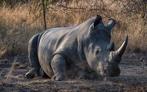 Wallpaper nature, background, Rhino