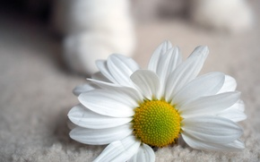 Picture flowers, Daisy, widescreen, widescreen, background, widescreen, white, HD wallpapers, Wallpaper, fullscreen, full screen, background, wallpaper, ...