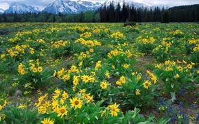 Wallpaper Flowers, Mountains, Wyoming