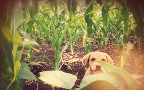 Picture Dog, corn, friend