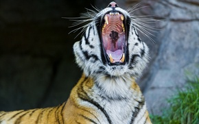 Picture face, mouth, fangs, wild cat, yawns, the Amur tiger