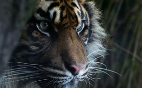Picture eyes, look, face, predator, Sumatran tiger