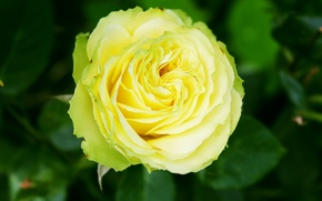 Picture rose, bright, yellow-green combination