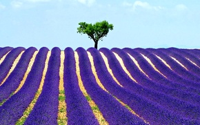 Picture field, the sky, tree, lavender