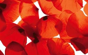 Picture light, flowers, Wallpaper, Mac, petals