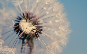 Picture macro, flowers, background, dandelion, blue, widescreen, Wallpaper, wallpaper, widescreen, background, full screen, HD wallpapers, dandelion, …