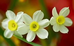 Picture macro, trio, daffodils