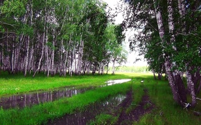Picture summer, rain, Forest, puddle