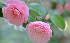 Picture macro, pink, tenderness, Camellia