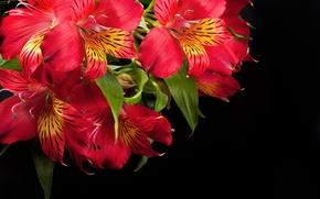 Picture flowers, red, Alstremeria, Alstroemeria