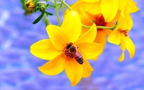 Picture honey, Purple, Canada, Flower, Yellow, Spring, Summer, working, bee