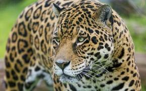 Picture face, predator, Jaguar, wild cat