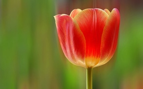 Picture flower, rays, line, Tulip, petals, stem