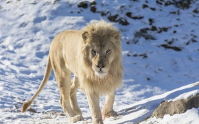 Picture face, predator, mane, wild cat, zoo, white lion