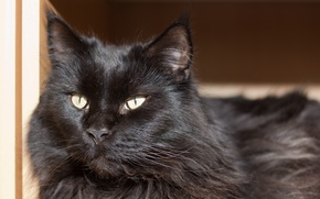 Picture cat, cat, look, face, Maine Coon