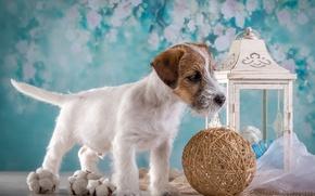 Picture tangle, boy, lantern, puppy, the Sealyham Terrier
