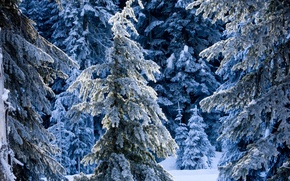 Picture winter, forest, snow, winter, spruce, the snow, tree, fabulous