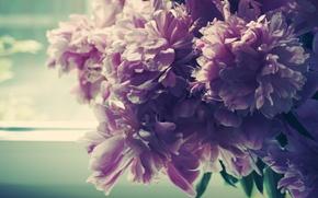 Picture morning, petals, Bud, window, peonies