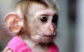 Wallpaper pink, monkey, monkey, dress