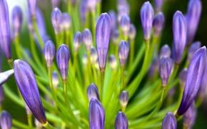 Picture flower, lilac, petals