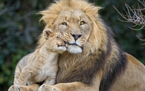 Picture cats, Leo, lion, пара ©Tambako The Jaguar