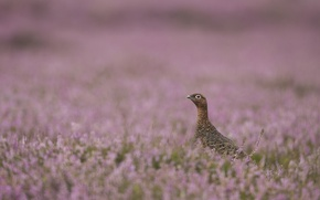 Picture heather, Heather, the grouse, red grouse, purple Heather, purple heather