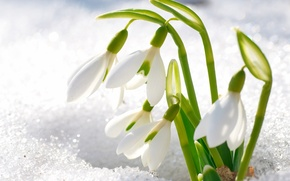 Picture snow, flowers, petals, snowdrops