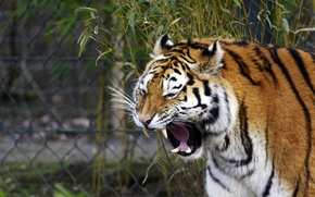 Picture cat, face, tiger, mouth, fangs, yawns, Amur