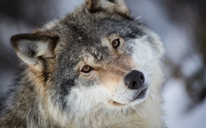 Picture look, face, grey, wolf, portrait, predator