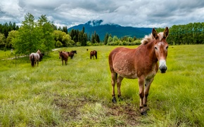 Wallpaper mountains, pasture, trees, horse, field, meadow, forest, grass, landscape
