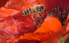 Picture flower, macro, bee, Mac, insect