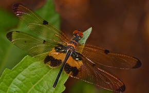 Picture dragonfly, leaf, insect