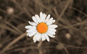 Picture white, summer, yellow, Daisy, June, 2016, Mordovia
