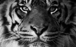 Picture look, face, predator, Sumatran tiger