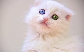 Picture eyes, kitty, white kitten