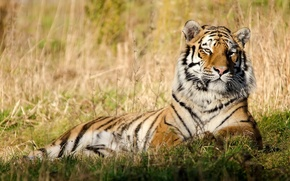 Picture grass, face, tiger, stay, peace
