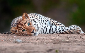 Picture cat, look, large, leopard