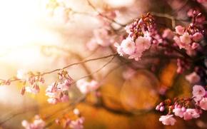 Picture flowers, cherry, tree, spring, Sakura