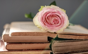 Picture flower, gentle, rose, books