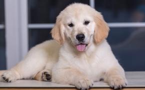 Picture puppy, Retriever, Golden