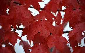 Picture autumn, leaves, water, drops, Rosa, rain, maple