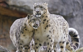 Picture cat, pair, IRBIS, snow leopard, ©Tambako The Jaguar