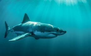 Picture ocean, predator, body, white shark